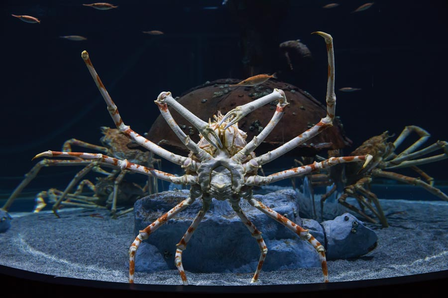 Wonders of Wildlife National Museum and Aquarium featuring giant Japanese spider crab