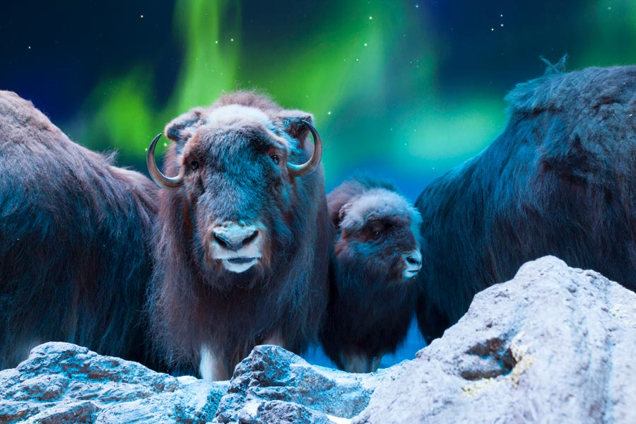 Wonders of Wildlife National Museum and Aquarium featuring muskox and the Northern Lights