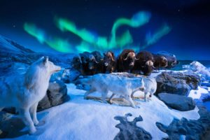 Wonders of Wildlife National Museum and Aquarium display featuring bison and muskox wolves.