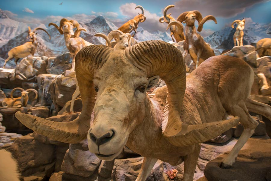 Wonders of Wildlife National Museum and Aquarium featuring sheep.